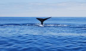 whale flluke