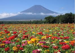 field of zinnia