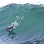 Surfing puffin by Ralph Eldridge